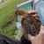 A Black-tailed Godwit (Limosa limosa) with the new GPS mini-tracker